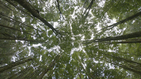 Rotating Shot of a Young Forest Canopy from Below.…, Live Action
