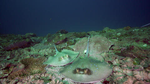 multiple blue spotted sting rays swim over coral reef Live Action