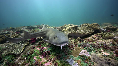 Bamboo shark swims over coral reef close up Live Action