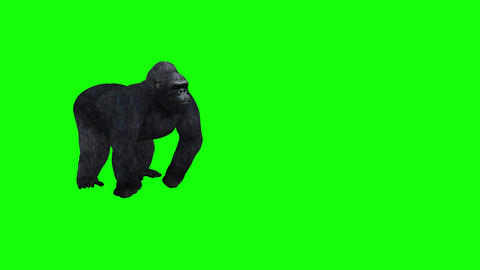 414 3D animated angry gorrilla walks beats chest and other actions Animation