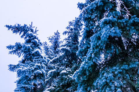 Treetops of Firtrees covered with snow