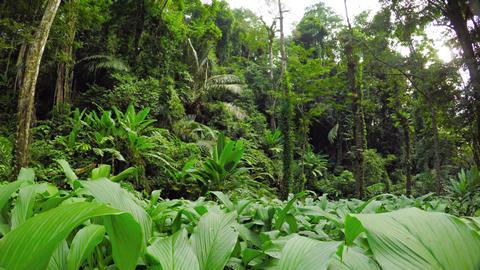 Dense Tropical Vegetation on a Rainforest Hillside. UltraHD video Footage