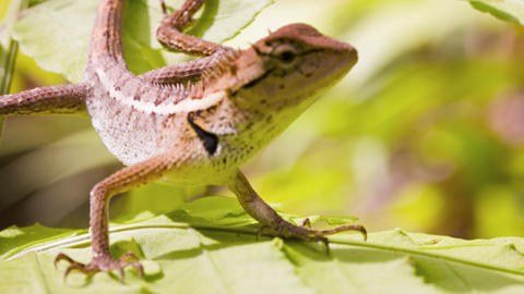 Closeup of an Oriental Garden Lizard in the Wild. Video 3840x2160 Footage