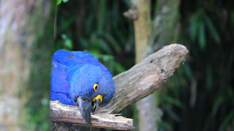 Hyacinth Macaw Chewing Wood Footage
