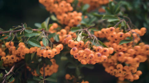 Rowan berries. Rowan berries on a tree. Lush bunches of orange rowan on the Live Action