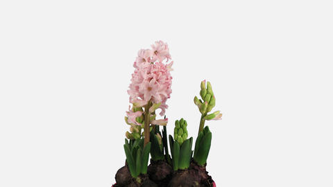 Time-lapse of growing pink hyacinth flower, 4K with ALPHA channel Live Action