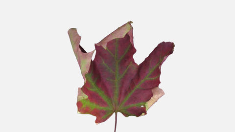 Time-lapse of drying Maple leaf with ALPHA channel, time reverse Live Action