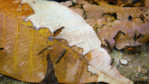 Ants Carrying Cargo over Dry. Fallen Leaves. with Sound. Video 3840x2160 Live Action