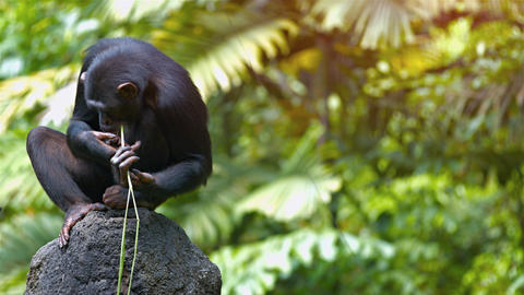 Mature Chimpanzee Perched on a Rock at the Zoo. Video 3840x2160 Live Action