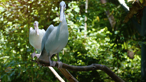 Pair of Pelicans Perched on a Branches. Video 3840x2160 Footage