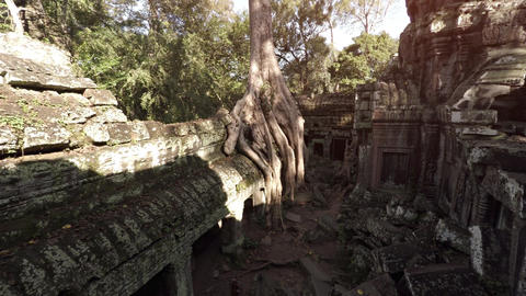 Massive Tree Roots Sprouting from Ancient Cambodian Temple Ruin Footage