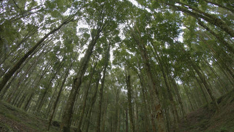 Slow. upward tilting shot of tall trees in a wooded area. Ungraded Raw footage Footage