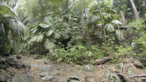 Palms and other trees along muddy banks of tropical. wilderness stream Footage