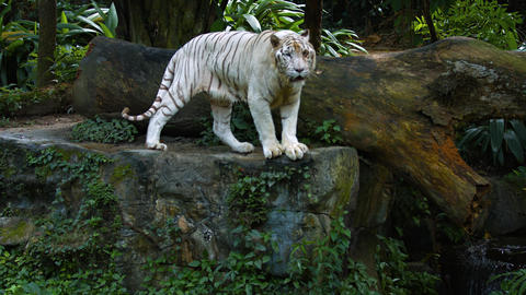 White Tiger Pacing in and out of Frame at the Zoo. UltraHD video Footage