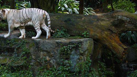 White Tiger Pacing in and out of Frame at the Zoo.… Stock Video Footage
