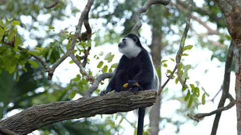 Adorable Black and White Monkey at the Zoo Footage