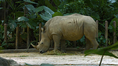 White Rhinoceros Foraging at the Zoo. UltraHD 4k footage Footage