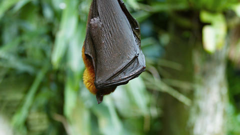Sleepy Fruit Bat Peeks Out from Wings at the Zoo Footage