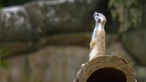 Adult Meerkat Stands Guard over Den at the Zoo Live Action