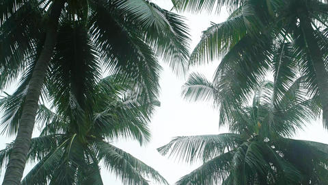 Tropical Palm Trees Sway in the Wind under an Overcast Sky Footage