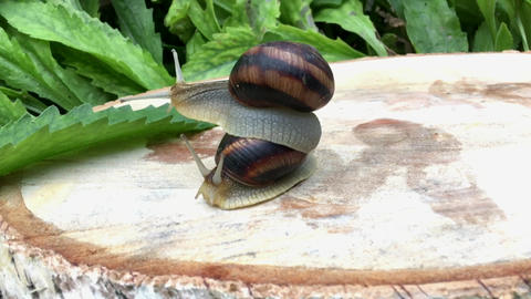Snail sitting on the back of another snail Footage