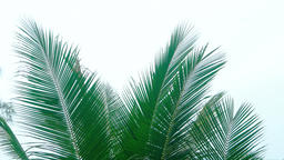 Palm Fronds against an Overcast sky Footage