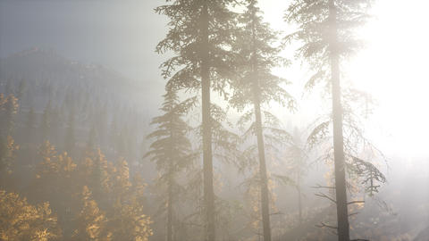 Calm moody forest in misty fog in the morning Live Action
