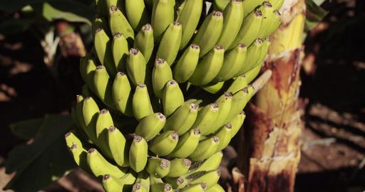 Bundles of bananas growing on a green tree. Bananas growing on tree Live Action