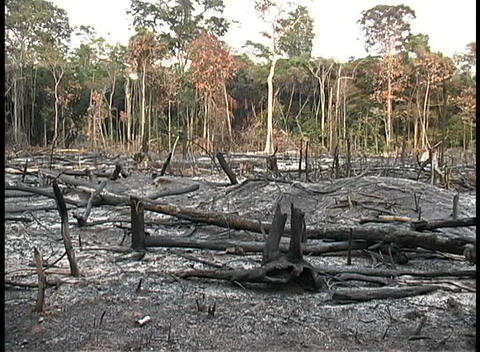 Pan-right across a burnt forest of trees Stock Video Footage