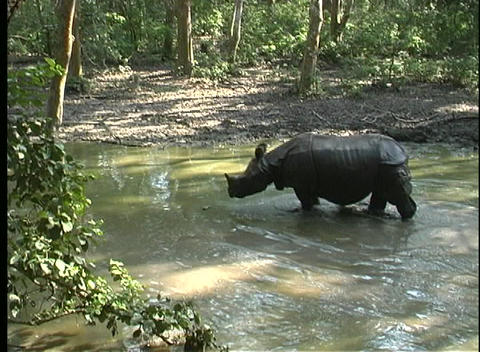 One rhino splashes in a river as a second one waits in the forest in Asia Footage