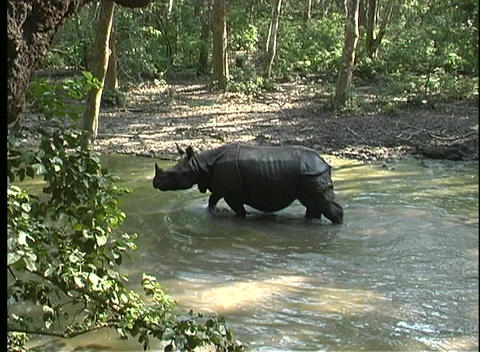 One rhino splashes in a river as a second one waits in... Stock Video Footage