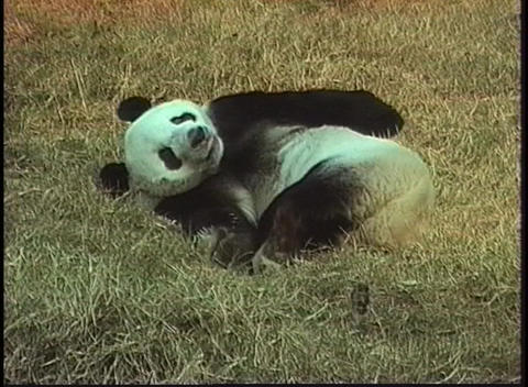 A panda bear rolls in the grass in a Beijing Zoo Stock Video Footage