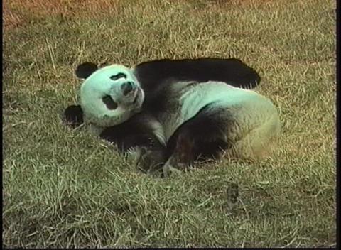 A panda bear rolls in the grass in a Beijing Zoo Stock Video Footage