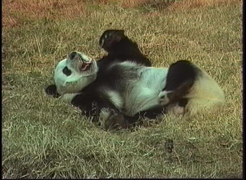 A panda bear rolls in the grass in a Beijing Zoo Footage