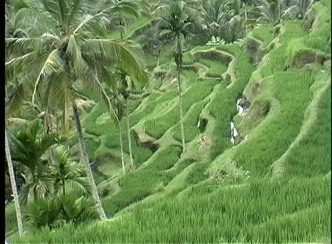 A birds-eye view of a terraced rice paddy on a hillside in Bali Footage