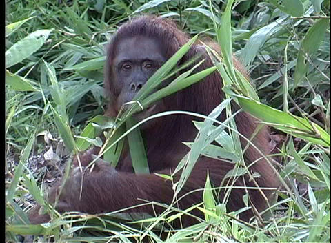 A primate eats leaves from a bush as he watches the camera Footage