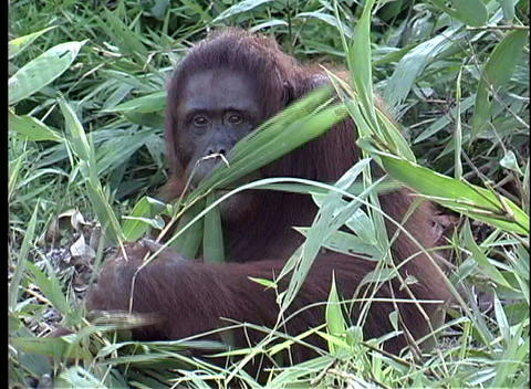 A primate eats leaves from a bush as he watches the camera Stock Video Footage