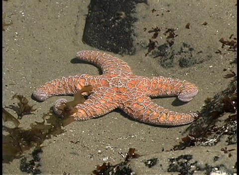 A point-of-view shot of a starfish in a tidepool along... Stock Video Footage