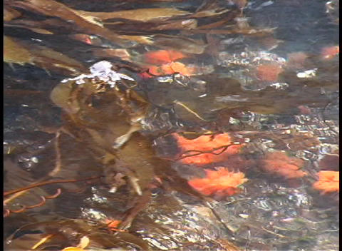 A close-up of floating kelp along the coastline of... Stock Video Footage