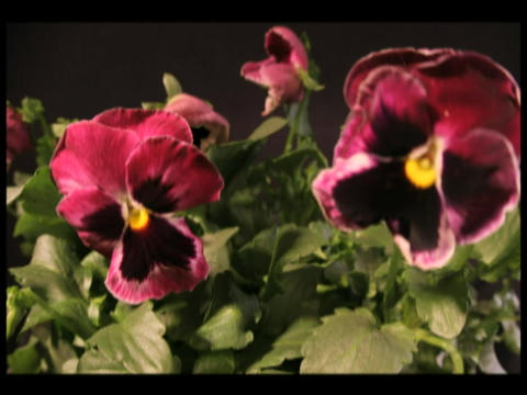 Time-lapse of colorful pansies blooming Footage