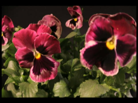 Time-lapse of colorful pansies blooming Stock Video Footage