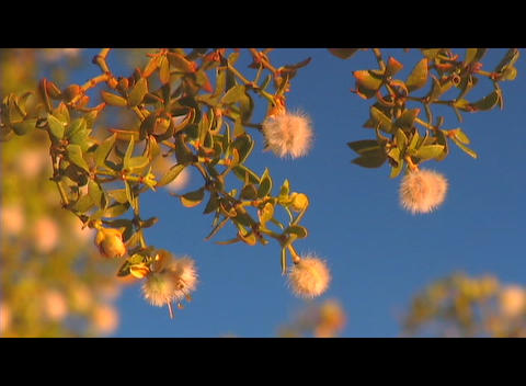 A flowering tree rustles in the breeze against a clear blue sky Footage