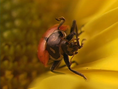 A red ladybug grooms itself on the petals of a bright... Stock Video Footage
