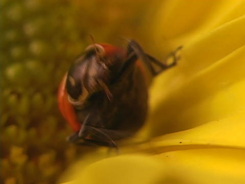 A red ladybug grooms itself on the petals of a bright yellow flower Footage
