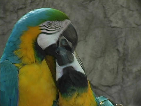 A parrot bites another on the beak Stock Video Footage