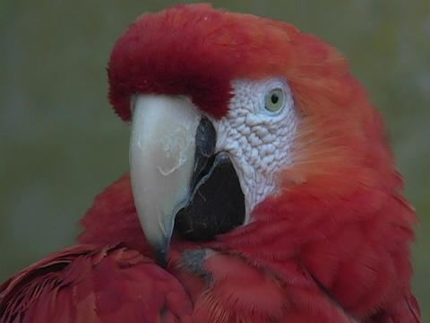 A beautiful red parrot opens its beak and shows its black... Stock Video Footage