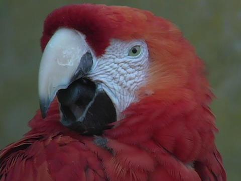 A beautiful red parrot opens its beak and shows its black tongue Footage