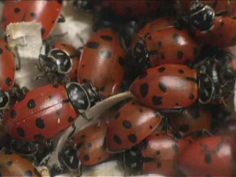 Red ladybugs swarm over each other Footage