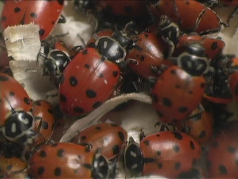 Red ladybugs swarm over each other Stock Video Footage