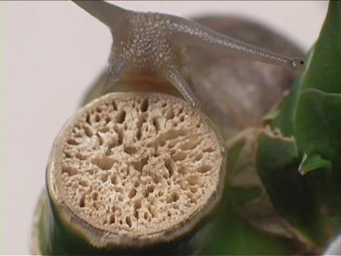 A slimy snail slowly crawls up a bamboo stalk Stock Video Footage